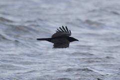 Carrion Crow.jpg