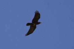 Brown Headed Raven.jpg