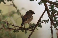 Chestnut Sparrow (f).jpg