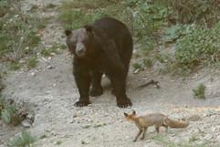 Brown Bear (Carpathian) (6).jpg