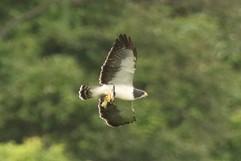 Short-tailed Hawk.jpg