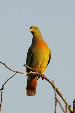 Orange-breasted Green Pigeon (f).jpg