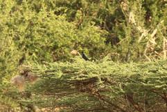 Brislte-crowned Starling.jpg