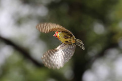 Red and Yellow Barbet (f).jpg