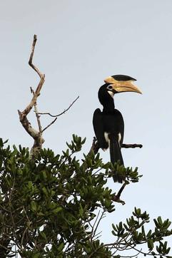 Malbar Pied Hornbill (f).jpg