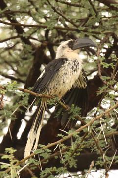 Von der Decken's Hornbill (f).jpg