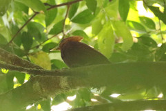 Cinnamon Woodpecker (f).jpg