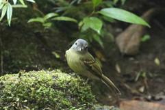 Cerulean Warbler (juv).jpg