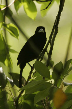 Flame (Yellow) Rumped Tanager.jpg