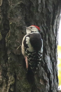 Middle Spotted Woodpecker.jpg