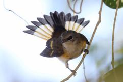 American Redstart (f).jpg