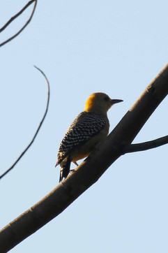 Hoffmanns Woodpecker (f).jpg