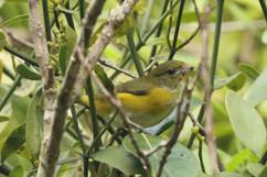Yellow throated Euphonia (f).jpg