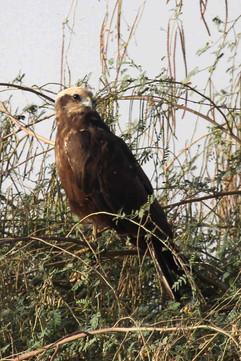 Marsh Harrier (fem).jpg