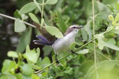 Eastern Violet-backed Sunbird (f).jpg