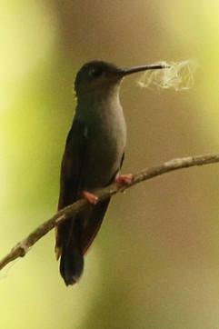 Bronze-tailed Plumeleteer (f).jpg