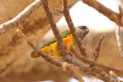 Senegal parrot.jpg