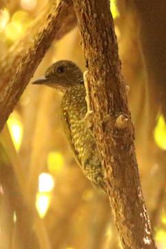 Buff spotted Woodpecker.jpg