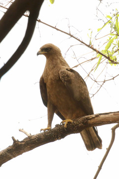 Wahlberg's Eagle.jpg