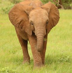 African Elephant (6).jpg