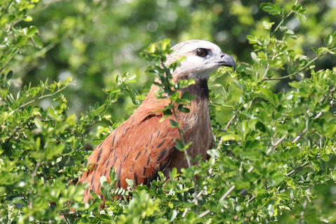 Black collared Hawk (juv).jpg