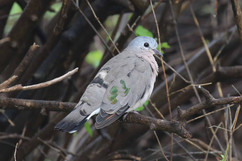Emerald-Spotted Wood Dove.jpg