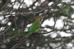 Brown Throated Parakeet.jpg