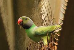 Layards Parakeet E (f).jpg