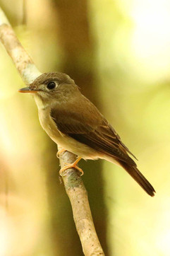 Asian Brown Flycatcher.jpg