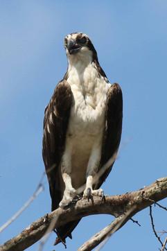Osprey (Berlize res) .jpg
