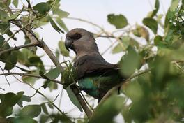African Orange-bellied Parrot (f).jpg