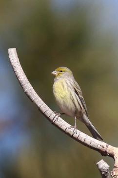 Canary (f).jpg
