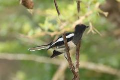 Oriental Magpie Robin (f).jpg