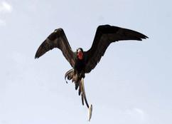 Magnificant Frigatebird copy.jpg
