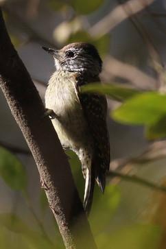Cardinal Woodpecker (f).jpg