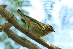 Cape May Warbler.jpg