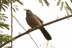 Brown babler.jpg