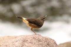 Buff-rumped Warbler.jpg