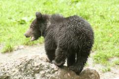 Brown Bear (Carpathian) (cub) (1).jpg