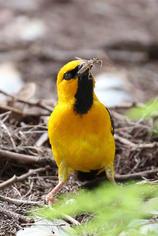 Black-necked Weaver.jpg