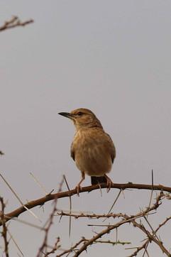 Pale Flycatcher.jpg