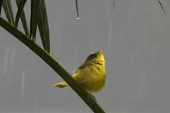 Yellow Warbler (imm).jpg