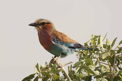 Lilac-breasted Roller (imm).jpg