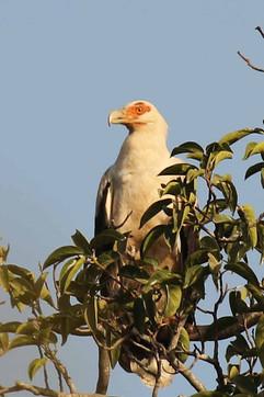 Palm nut vulture.jpg