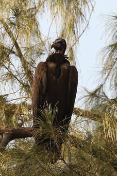 Hooded vulture (juv).jpg