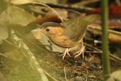 Brown-capped Babbler E.jpg