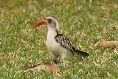 Western red-billed hornbill (f).jpg