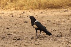 Pied crow.jpg