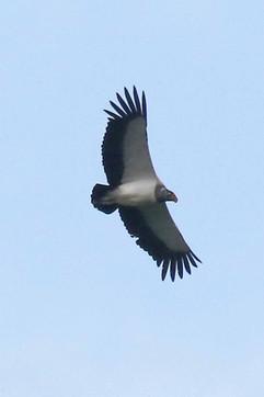 King Vulture .jpg