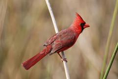 Cardinal b.jpg